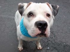 SAFE! - Manhattan Center    ROCKY - A0996821    MALE, WHITE / BLACK, AMERICAN STAFF MIX, 2 yrs, 4 mos  STRAY - EVALUATE, NO HOLD  Reason STRAY   Intake condition NONE Intake Date 04/16/2014, From NY 10461, DueOut Date 04/19/2014