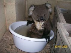 koalas bath time