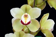 Orchid: Cymbidium luminaries; by species orchids, via Flickr