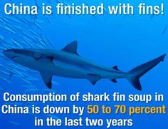 The decline has been attributed to advocacy from students, conservation groups, and even former NBA star Yao Ming. Shark fin soup had been seen as a marker of social status and was traditionally served at weddings and other formal affairs. The high demand encouraged the practice of shark finning, where sharks would be caught, have their fins cut off, and then get tossed back into the ocean to die. This brought some species to the brink of extinction.