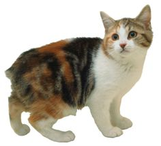 manx - The tailless Manx (unlike the longhaired cymric they are shorthaired) is the result of a genetic mutation that was then intensified by the cats' remote location on the Isle of Man, off the coast of Britain.