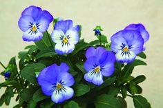 Viola cornuta Penny Azure Wing