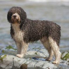 Spanish Water Dog photo | Marley The Spanish Water Dog