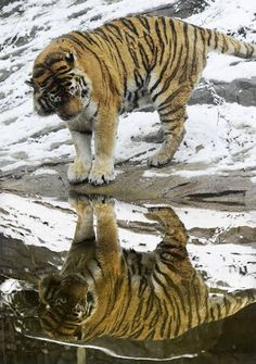 a Tiger checking out the reflection
