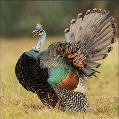Ocellated Turkey (Meleagris ocellata) - found primarily in the Yucatán Peninsula, in south-eastern Mexico. Pretty Birds, Beautiful Birds, Animals Beautiful, Exotic Birds, Colorful Birds, Funny Bird, Clay Birds, Kinds Of Birds, Game Birds