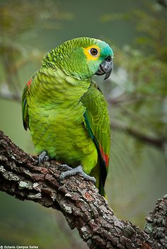 """earth-song:    """"Blue-fronted Parrot (Amazona aestiva)"""" by Octavio Campos Salles"""