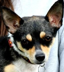 *LALA(TINY, TINY LITTLE DOLL!!! SHE DESERVED BETTER!! PLS READ!! is an adoptable Chihuahua Dog in Newington, CT. LITTLE LALA***CONTACT SHELLY lovedogs.rescue@gmail.com***Lala is an 'ADORABLE', seven p...