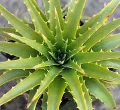 Dyckia platyphylla 'Uncola' has refreshingly bright green WICKED spines (all the better to keep the deer away) and summer blooms of SWEET orange-yellow flowers. Need something to beat drought and heat? Here you go!