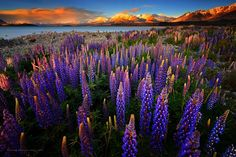 Springtime in Lake Tekapo last 2012. One of the most beautiful place on earth. A magnificent gateway to the Southern Alps.