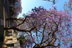 trees all around in Portal, Jacaranda Trees, Pretoria, Farmer, South Africa, October, Plants, Farmers, Planters