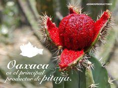 Oaxaca es el principal productor de pitaya. SAGARPA SAGARPAMX #SomosProductores