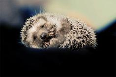 a hedgehog. omg.