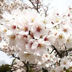 【mako.618】さんのInstagramをピンしています。 《❀゚・* . . . #万博公園 【大阪府吹田市】 . . . #桜 #空 #雲 #景色 #風景 #写真好きな人と繋がりたい  #写真撮ってる人と繋がりたい  #bestphoto #igersjp #jalan_asobi #allbeauty_addiction #pics_jp #japan_daytime_view #whim_life #wu_japan #wp_japan #theweekoninstagram #japan_of_insta #japan #japan_art_photography #photo_shorttrip #photo #jj_skylove #loves_nippon #lovers_nippon #instagram #instalike #tokyocameraclub #sunsky_in . . . 2015.4.6》