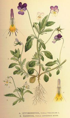 Hercai menekşe - Viola tricolor - Heartsease / Pansy