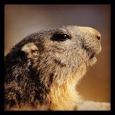 Marmot in the Ligurian Alps