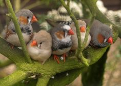 Zebra Finches, Sewerby Hall, Bridlington by the.deanery, via Flickr