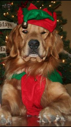 Golden Retrievers love to dress up for Christmas too!