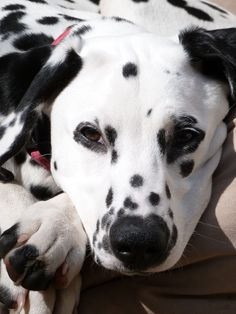 Ꭿ ∂ơɠ'Ꭶ Ꮭɨʄɛ (Dalmatian puppy. | par Judy Rothchild)