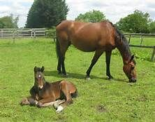 hanoverian horses - - Yahoo Image Search Results