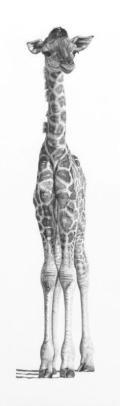 Young giraffe - Pencil Drawing