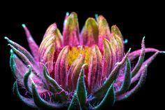 Fotos capturam as luzes invisíveis que flores e plantas emitem
