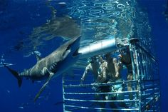 Shark Encounter Cage Dive