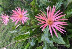Otra flor de la familia Asteraceae