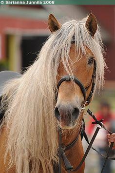 Finnhorse Castellon Pietari Horses And Dogs, Wild Horses, Animals And Pets, Cute Animals, Palomino, Friesian Horse, Pony Breeds, Horse Breeds, Golden Horse