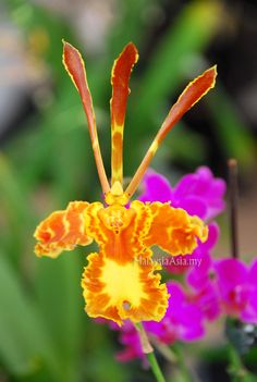 rare orchids pictures | Putrajaya Flower and Garden Festival 2010 Pictures ~ Malaysia Asia
