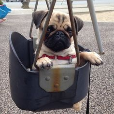 Little pug says: Push me!