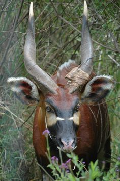 Our extensive photo gallery of the bongo antelope and the efforts to reintroduce this species back to the wild in East Africa. Dik Dik, Photo Animaliere, Okapi, Deer Family, Big Animals, Animal Games, Animal Photography, Animal Kingdom, Animals Beautiful