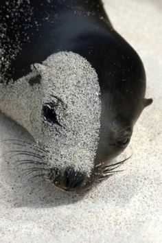 Look closely and you'll see that this is a seal with one side of the face covered in sand while the other side is clear
