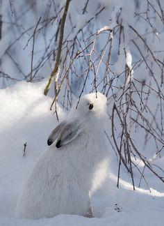 Snow White Rabbit