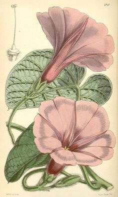 / Curtis's Botanical Magazine, vol. Vintage Botanical Prints, Botanical Drawings, Vintage Art, Science Illustration, Plant Illustration, Botanical Flowers, Botanical Art, Sibylla Merian, Plant Drawing