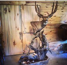 Cool mule deer pedestal mount Deer Skull Art, Deer Skulls, Deer Antlers, Deer Mount Decor, Deer Decor, Taxidermy Decor, Taxidermy Display, Deer Mounts, Fish Mounts