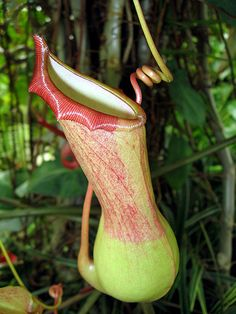 Indigenous to Southeast Asia, nepenthes pitcher plants are found in the wilds of Madagascar, Malaysia, Indonesia, South China and the Philippines. You can also find these intriguing carnivorous plants in sections of both Australia and India. The shape and structure of the pitcher plant is distinctive with the pitcher cup, peristome and ribs section of the plant being its most standout feature.