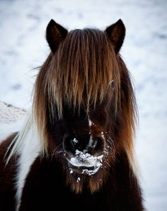 Shetland Pony in the snow! Shetland Ponies are very hardy and can endure winter conditions when other animals must shelter inside.