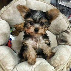 Yorkie Dogs, Yorkies, Puppies, Fur Babies, Cute Dogs, Cute Animals, Pets, Amazing, Doggies