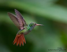 Flying-rufus-tailed-Hummingbird