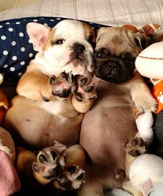 French Bulldog and Pug Puppy Bellies