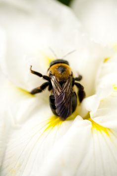 A bee bumbling through a graceless moment, or enjoying the revelation of flower petal as recliner?