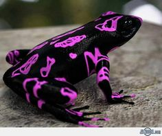 """""""The Harlequin Toad is a poisonous frog from Costa Rica. Due to habitat loss, it's dangerously close to extinction."""""""