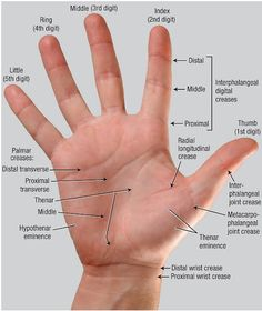 Anatomy of the hand Wrist Anatomy, Hand Anatomy, Occupational Therapy Schools, Physical Therapy, Medical Anatomy, Muscle Anatomy, Medical Coding, Anatomy And Physiology, Anatomy Reference