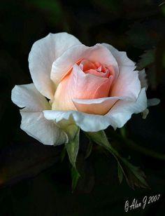 Summer Rose by alanj2007 on Flickr