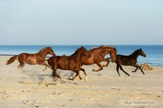 Herd on the beach - Herd of horses enjoying the galop on the beach