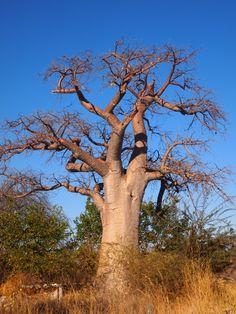 Baobab tree, Botswana