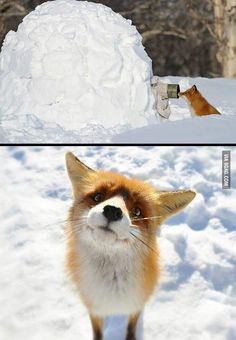 fox caught at the perfect moment. : Curious fox caught at the perfect moment.Curious fox caught at the perfect moment. : Curious fox caught at the perfect moment. Cute Funny Animals, Funny Animal Pictures, Cute Baby Animals, Funny Cute, Animals And Pets, Cute Pictures, Funny Foxes, Funny Kitties, Animal Pics