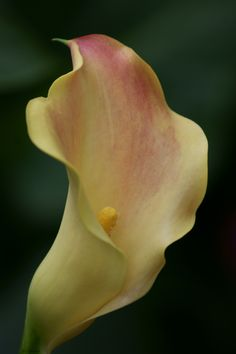 Magnificent Beauty ~ Calla Lily by Julia Adamson, via 500px