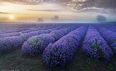 Spectacular: Sandra Kruezinger captured this amazing image of a lavender field in Faulkland, Somerset www.dailymail.co.uk