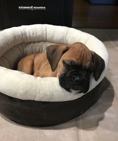 Explore our site for additional information on boxer dogs. It is an exceptional place to get more information. Boxer And Baby, Boxer Love, Boxer Puppies, Dogs And Puppies, Cute Puppies, Animals And Pets, Baby Animals, Cute Animals, Forever Puppy